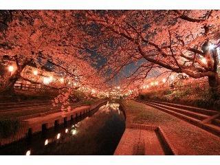 元荒川の桜並木.jpg